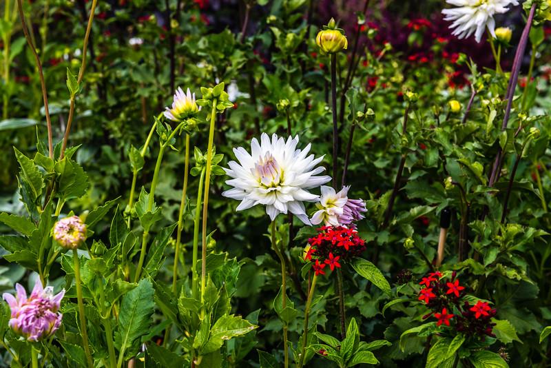 White & Purple Dahlia