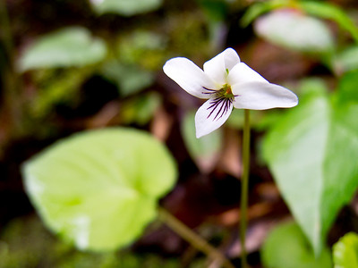 Canadian Violet, Great Smoky Mountains, TN. Olympus XZ-1.