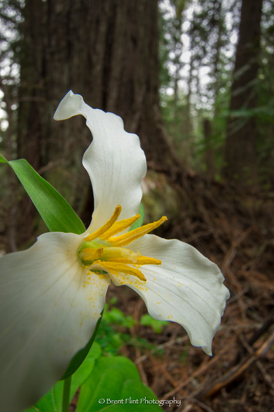 DF.4552 - Western trillium, Kaniksu National Forest, ID.
