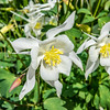 White Fan Columbine