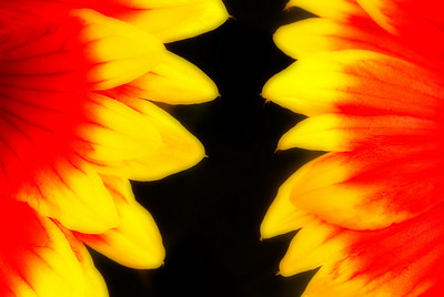 Orton effect Mexican Blanket Flowers
