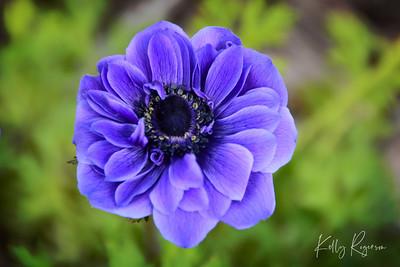 """""""Purple Haze"""" A shot of a flower in a wildflower garden in Oregon."""