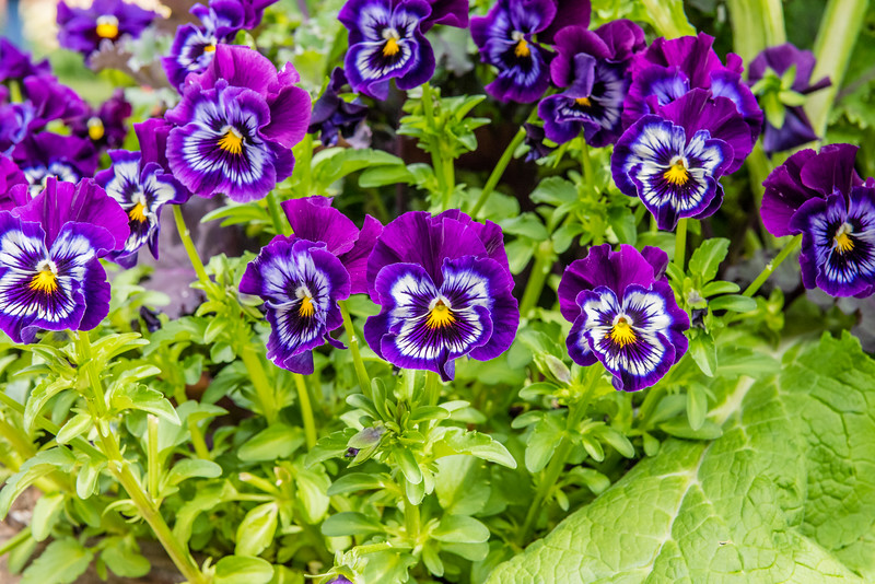 Symmetry in Pansy Flowers