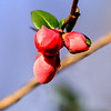 """Flowering Quince Buds"""