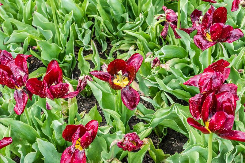"""""""National Velvet"""" Tulip"""