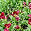 """National Velvet"" Tulip"