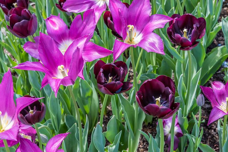 Tulip 'Recreado'