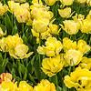 """Akebono"" Tulip"