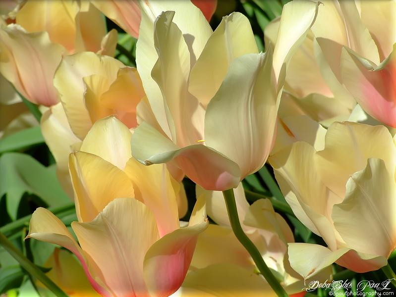 Keukenhof Tulip Garden - Amsterdam , Netherlands