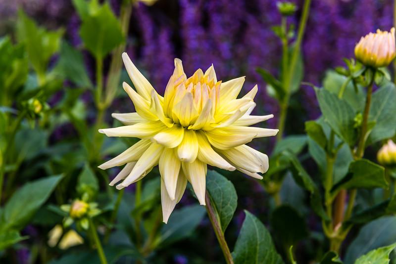 White & Yellow Dahlia