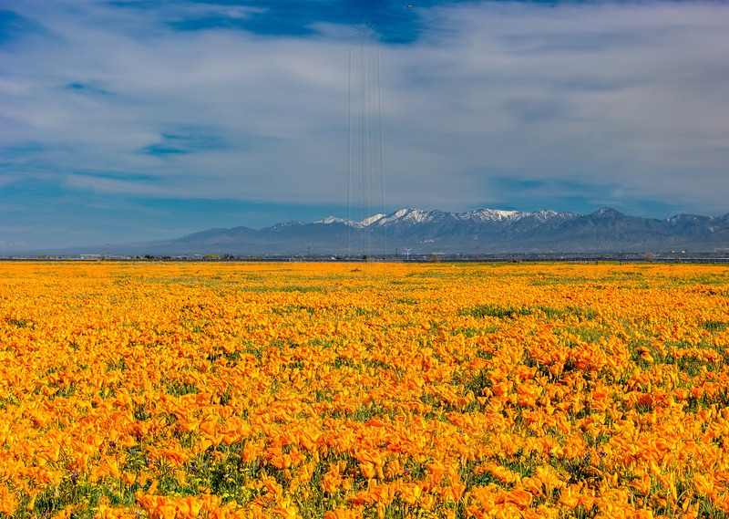 Poppy fields near Lancaster with the snowcaped San Gabriels.