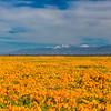Poppy fields near Lancaster with the snowcaped San Gabriels.