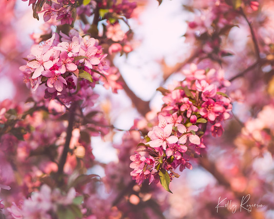 Cherry blossom tree in bloom.