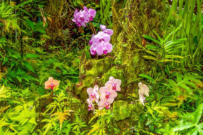 Phalaenopsis Orchid Clusters