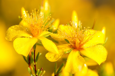 St. John's Wort, Hypericum edisonianum, on the Lake Wales Ridge of south-central Florida.