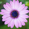 Wet Purple Daisy