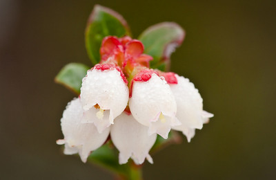 Blueberry (vaccinium spp) flowers are common in Florida's oak scrub on the Lake Wales Ridge.