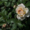 White Rose with a bit of yellow, Rose Garden Forst, Oberlausitz, Germany
