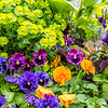 Multiple Colored Pansy Flowers