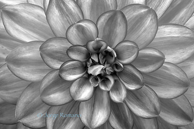 Dahlia close-up in black and white