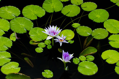 Purple Waterlilies, Horizontal, Longwood Gardens, 03