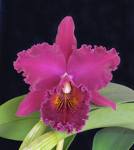 Cattleya Blc. Chialin 'New City'
