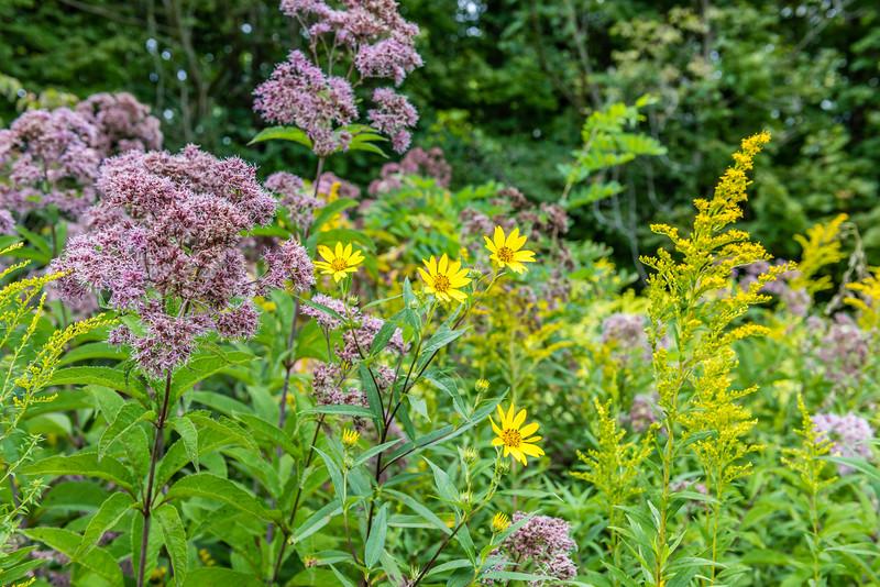 Maryland Golden Aster & Blue Mistflower