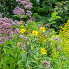 Maryland Golden Aster & Blue Mistflower