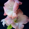 White and Pink Gladiolus