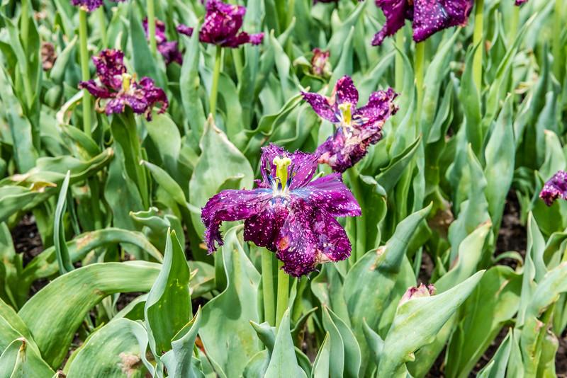"""""""Vincent Van Goh"""" Tulip"""