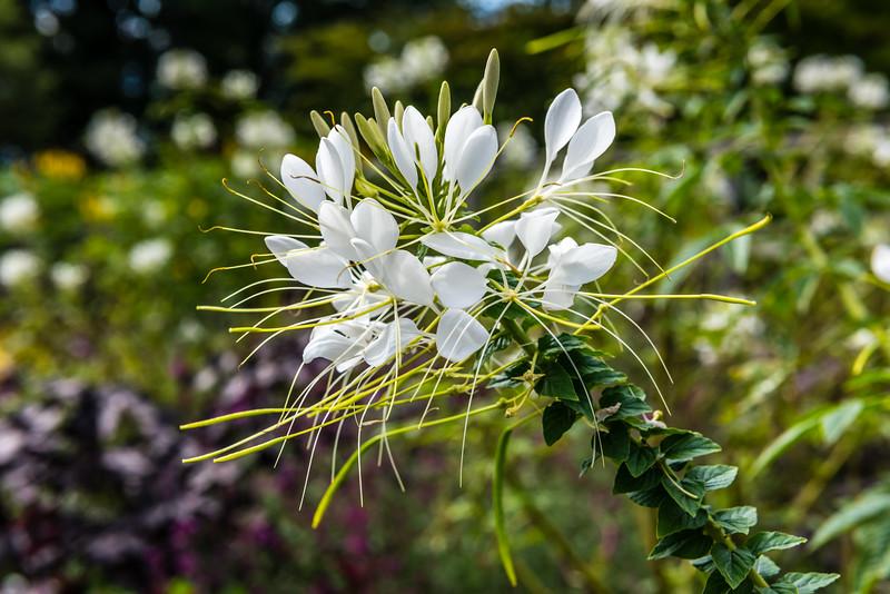 White Butterfly Flower