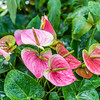 Flamingo Anthurium