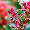 Star-Shaped Oncidium Orchid