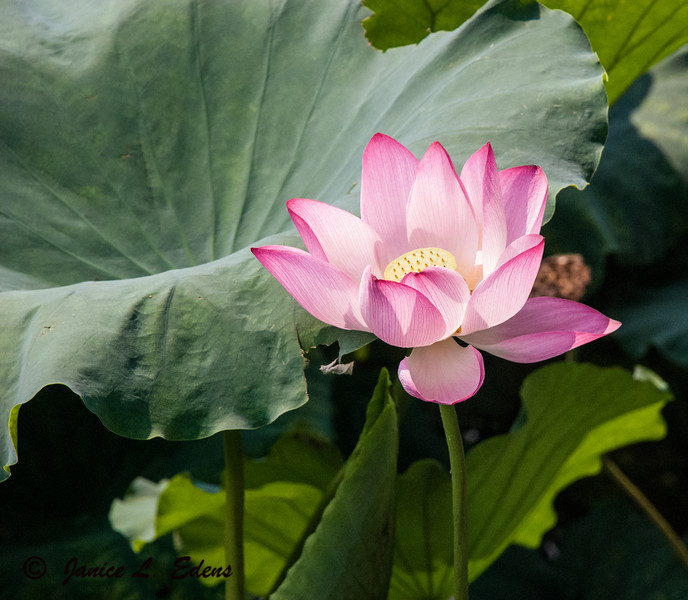 """Lotus Blossom at West Lake in Hangzchou, China"""
