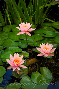 Three Pink Water Lilies