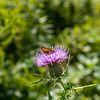 Thistle & Small Butterfly