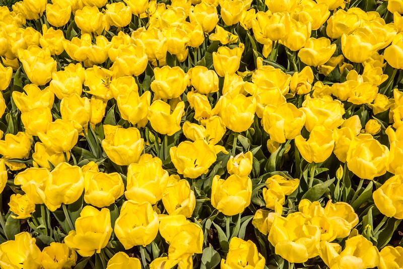 Yellow Double Late Tulips