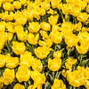 Yellow Double Late Tulips