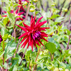 Red & Purple Dahlia