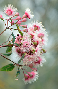Corymbia Fairy Floss II