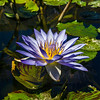 Lotus Flower at The Japanese Garden.