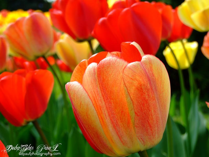Tulip Flower Show @ Morges Town - Switzerland