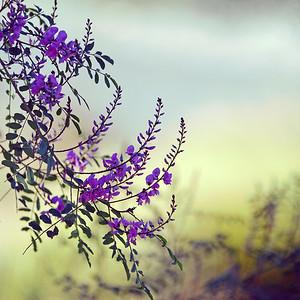 Dreamy Australian Indigo flowers II