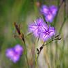 Australian Native Fringe Lilies
