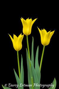 Lily Flowering Tulips III