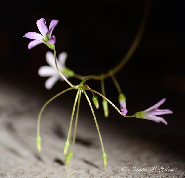 """""""Shamrock Blossom Dance"""""""