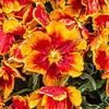 """""""Bright Parrot"""" Tulip"""