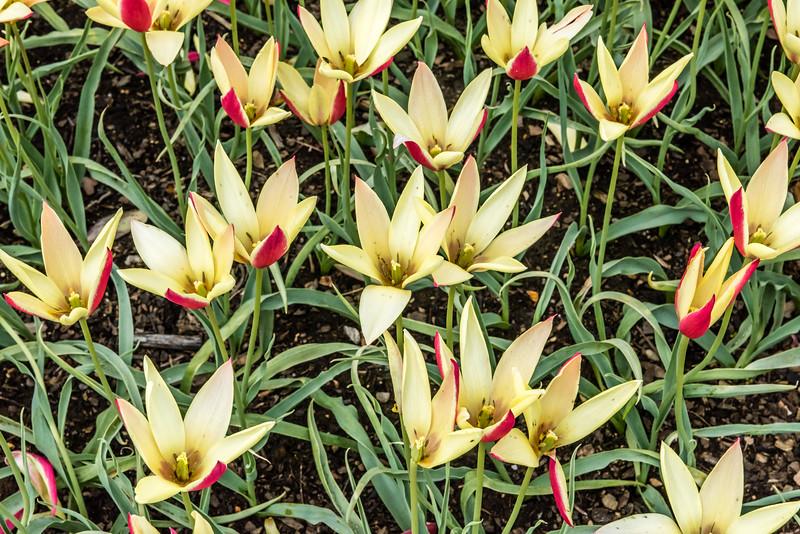 """""""Marjoletti"""" Tulip"""