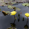 """Carla's Sunshine"" Waterlily"