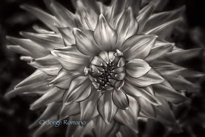 Dahlia in black and white